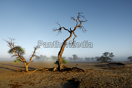 trees in mist kalahari desert