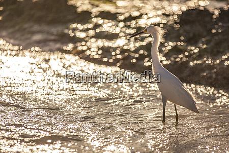 bubulcus ibis in dominican beach 3
