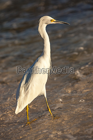 bubulcus ibis in dominican seashore 4