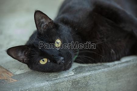 lying cat resting 3