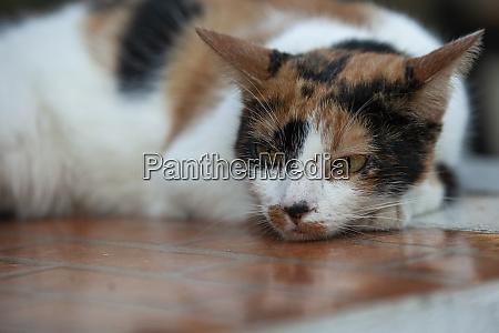 lying cat resting 2