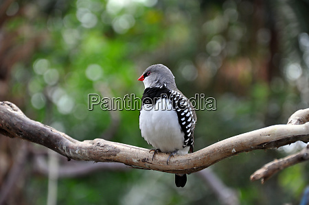 black and white spotted finch