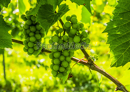 cluster of green grapes on a