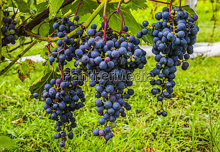 cluster of purple grapes on a