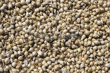 abundance of shallot onions shan state
