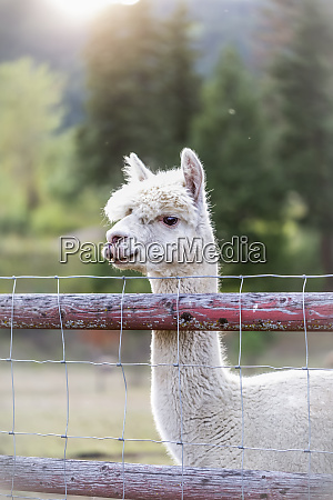 llama lama glama on a farm
