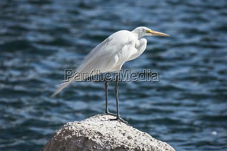great egret ardea alba perched on