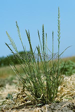 agriculture weeds italian ryegrass lolium