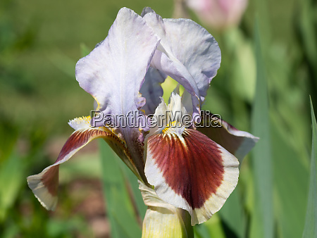 german iris iris barbata nana
