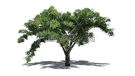 single american elm tree with shadow