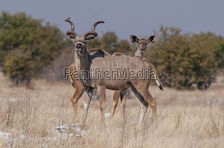 pair of greater kudus tragelaphus strepsiceros