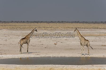 pair of giraffes giraffa camelopardalis at