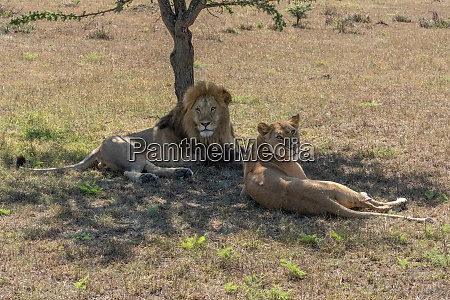 male and female lions lie eyeing