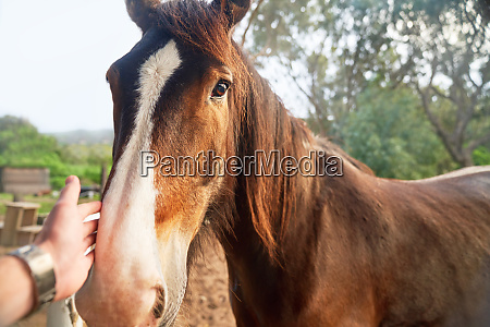 personal perspective hand petting brown horse