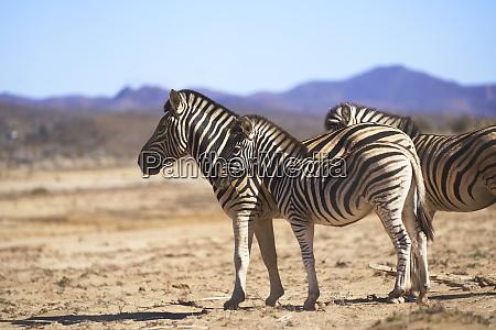 zebras on sunny wildlife reserve