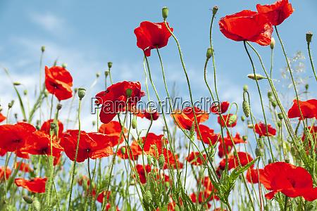 red poppy flowers on sunny blue