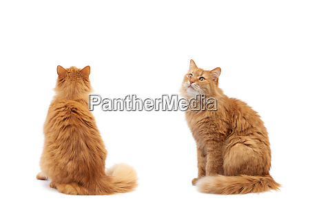 adult fluffy red cat sitting