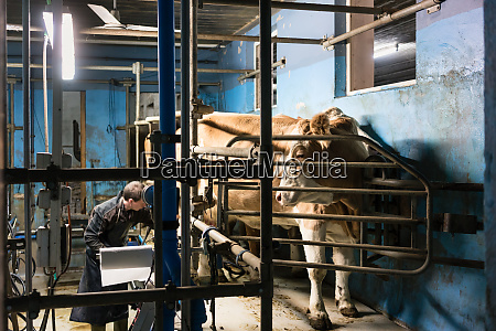 farmer milking his cows on automated