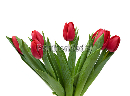 blooming red tulips with green leaves