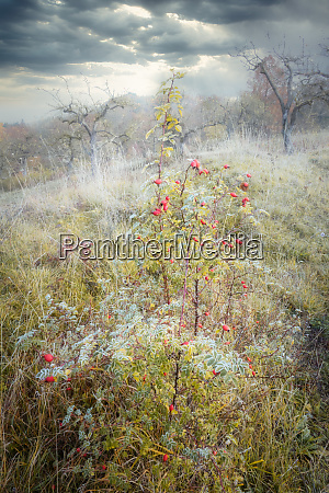 rimy meadow orchard with rosehips