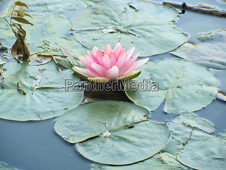 photo of a pink water lily