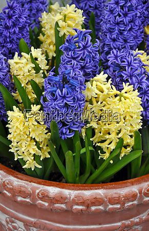 purple and yellow spring hyacinth flowers