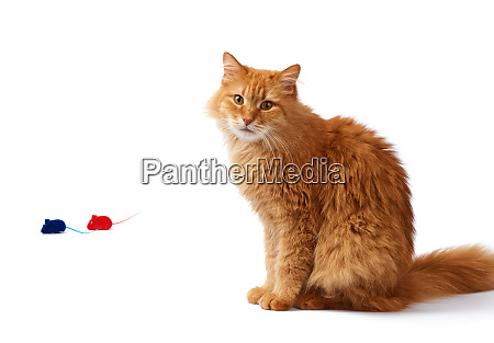 adult fluffy red cat sits sideways