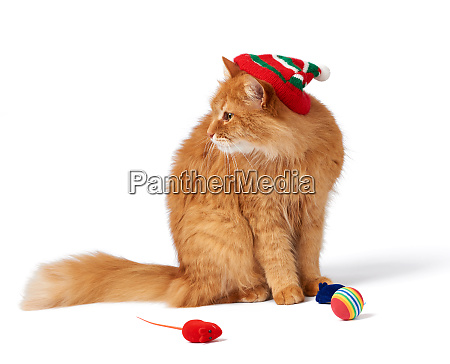 big red fluffy cat sits on