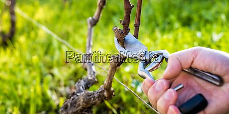 farmer pruning the vine in winter