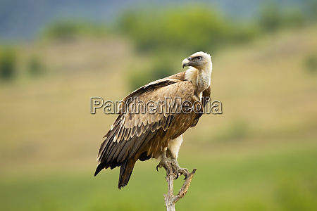griffon vulture gyps fulvus sitting and