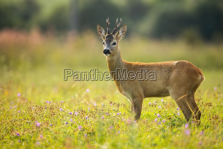 curious roe deer grazing on the