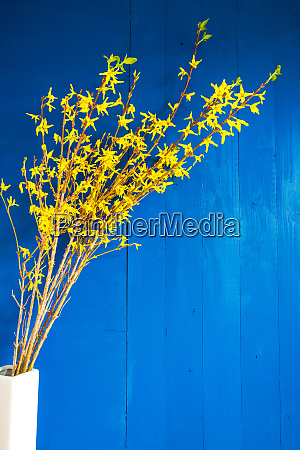 easter branch with yellow blossoms spring