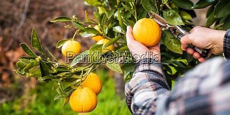 farmer makes the orange harvest in