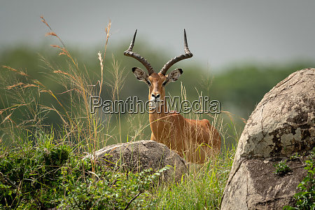 male impala lies in grass eyeing