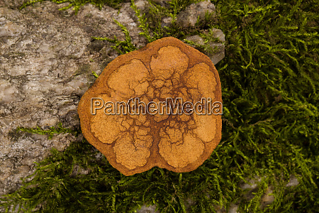 ayahuasca wood cross section