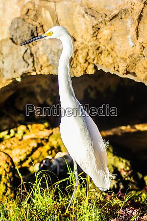bubulcus ibis in dominican seashore 16