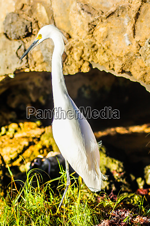 bubulcus ibis in dominican seashore 17
