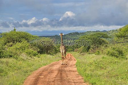 giraffes in the tsavo east tsavo