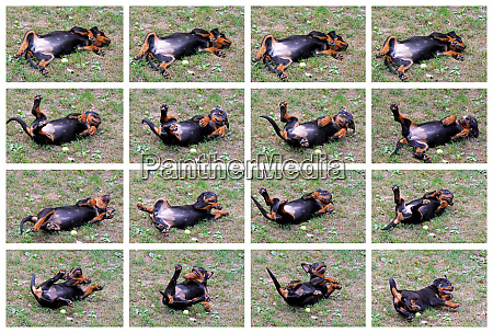 rottweiler collage