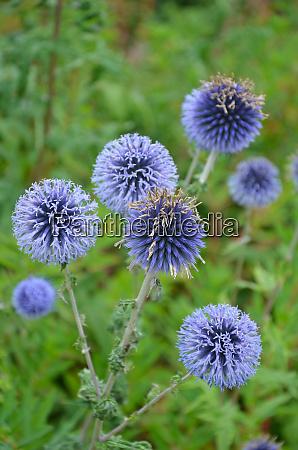 purple globe thistle flowers