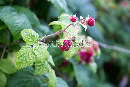 raspberry agriculture macro plant vitamins fruit