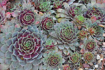 colorful hens and chicks plants