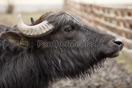 domestic water buffalo