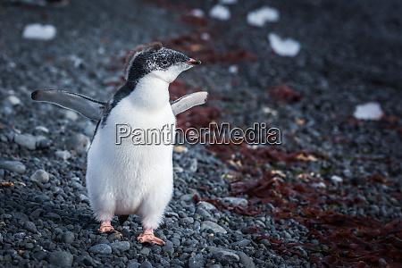 adelie penguin chick running along shingle