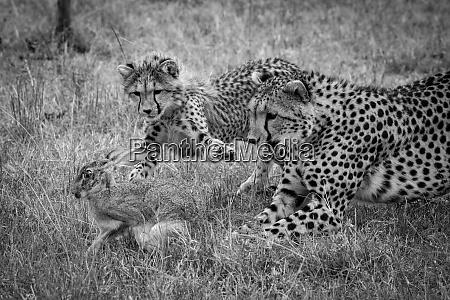 mono cheetah and cub chase scrub