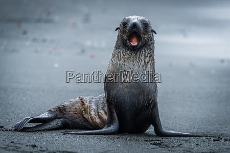 antarctic fur seal sitting staring at