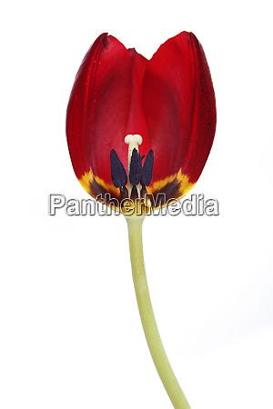 tulip in red