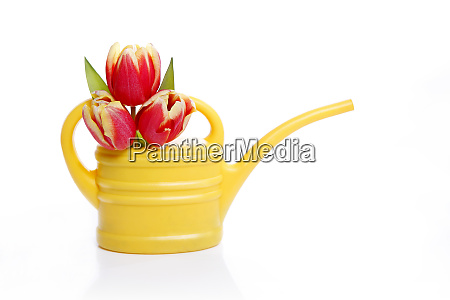 yellow watering can with tulips