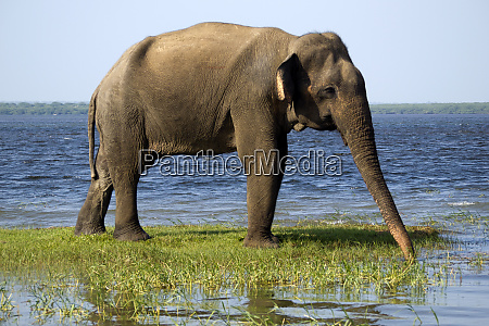 young elephant in the national park