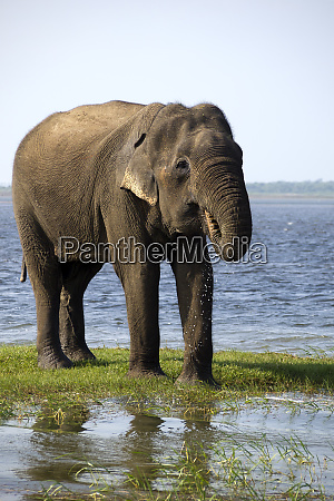 young elephant drinking water in the